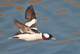 Mr Bufflehead
