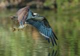 Osprey and the carp