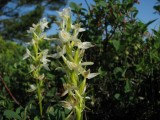 Nattviol, orkidée