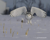 snowy owl, harfang des neiges.