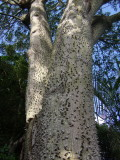 White Silk- Floss tree