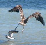 Sea-Gull & Pelican ... take off