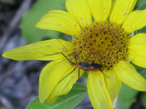 Sunflower  & Insect