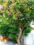 Orchid tree - Bauhinia purpurea