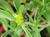Bluebottle Fly on Seaside Oxeye