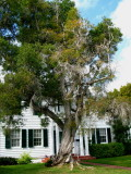 House & Paper Bark tree