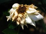 Past  blossom