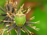 Green Shield Bug on  Bidens (Spanish needle)