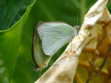 Great Southern White mating