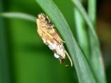 Bagworm Moth Cocon