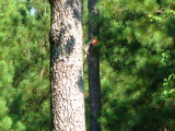 Pine tree & Woodpecker