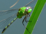 Great Pondhawk
