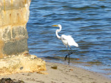 Great Egret,  walking away