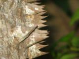 Silk Floss tree close up