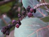 Sea-grape dry fruit