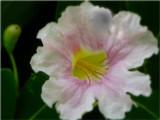 Flower & Bud, Pandora