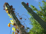 Bush Potato Vine & Cactus