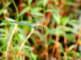 Green Darner... in flight