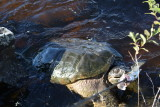 Giant snapping turtle_2.JPG