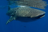 Whale Shark Expedition 2010