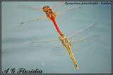 Sympetrum fonscolombii - tandem