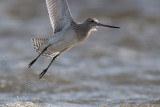 Rosse Grutto - Bar-tailed Godwit - Limosa lapponica