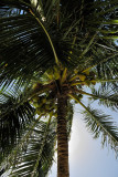 A coconut tree next to the bungalow !