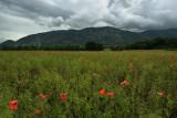 Poppy field under a stormy sky