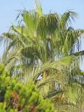 Nerja Palm