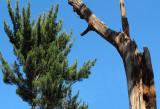 Startled Pine