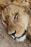 Lion at rest *