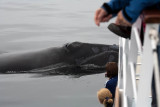 North Atlantic Right Whales 2009
