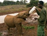 Hungry orphan elephant