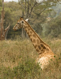 Rothschild Giraffe resting