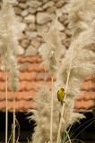 Baglafecht Weaver Bird