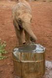 Thirsty orphan baby elephant