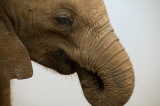 Young orphan elephant close up
