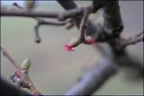 Common Hazel - corylus avellana (female catkin)