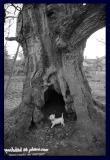 1000 year old tree meets 4 year old pooch
