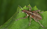 zzF_Curculionidae_075