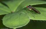 Oropezella sphenoptera