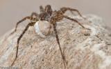 Pardosa_0907 EM-90265.jpg