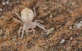 Cheiracanthium striolatum_0589 EM-91912.jpg