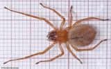 Cheiracanthium striolatum_0588 EM-96327.jpg