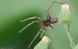 Thanatus vulgaris_0846 EM-96956.jpg