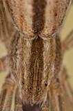 Tibellus oblongus_0000 EM-99224.jpg
