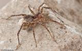 Pardosa próxima _0907 EM-90314.jpg