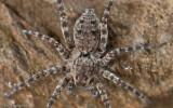 Wadicosa fidelis _FA0901 EM-90143.jpg