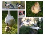 Best of Duck Pond
