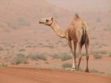 Camel en route to Hatta Dubai.jpg